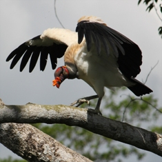 King vulture spread wing